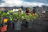 Cape Verde, Island Fogo, NationalPark Fogo, Village Cha,landscape, Active Vulcano, Lavafields, coffee, wineyards, wine,farmers, working the land, planting wine ranks