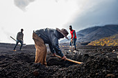 Cape Verde, Island Fogo, NationalPark Fogo, Village Cha,landscape, Active Vulcano, Lavafields, coffee, wineyards, wine,farmers, working the land, planting wine ranks,