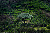 Cape Verde, Island Santo Antao, landscapes, hiking, mountains, green, DragonBlood Tree