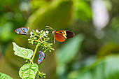 Butterflies in the animal and plant-rich garden of Finca Palmonte near Baños, Ecuador