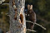 Zobel (Martes zibellina) im Baum, Baikalsee, Barguzinsky-Naturreservat, Russland
