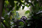 Weiblicher Schimpanse, namens Fanle (Pan troglodytes) auf dem Baum, Bossou, Guinea