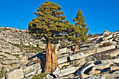Jeffrey-Kiefer (Pinus Jeffreyi) Bäume und Granit, Olmsted Point, Yosemite Nationalpark, Kalifornien