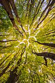 Sommerlinde (Tilia platyphyllos) Bäume im Herbst, Niederlande