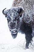 Amerikanischer Bisons (Bisonbison) Weibchen, bedeckt mit Frost im Winter, Yellowstone Nationalpark, Montana