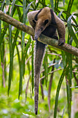 Nord-Tamandua (Tamandua Mexicana) im Baum, Pipeline Road, Gamboa, Panama