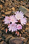 Oregon-Bitterwurzel (Lewisia rediviva), Blüten, Kaskaden-Berge, Washington