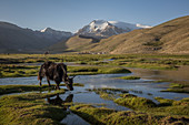 Yak in the mountains Pamir, Afghanistan, Asia