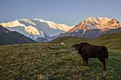 Yak and Pik Lenin, Kyrgyzstan, Asia