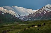 Yaks and Pik Lenin, Kyrgyzstan, Asia