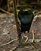 Wunderschöner Paradiesvogel (Cicinnurus magnificus) männlich, Arfak-Gebirge, West Papua, Indonesien