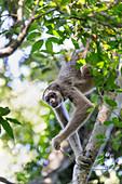 Nördlicher Spinnenaffe (Brachyteles hypoxanthus) im Baum, Feliciano Miguel Abdala Privates Naturschutzgebiet, Atlantischer Wald, Brasilien