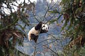 Riesen-Panda (Ailuropoda melanoleuca) männlich, sieben Monate alt im Baum, Bifengxia Panda Basis, Sichuan, China