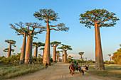 Grandidier's Baobab (Adansonia grandidieri) Bäume entlang der von Einheimischen genutzten Straße, Avenue of the Baobabs, Madagaskar