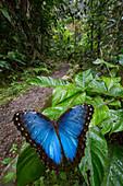 Helenor Blau-Morpho (Morpho helenor) Schmetterling im Regenwald, Monteverde Cloud Forest Reserve, Costa Rica