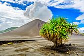 Hala-Baum (Pandanus tectorius) auf Vulkanfeld, Berg Yasur, Tanna Island, Vanuatu