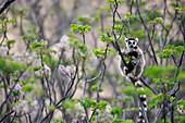 Katta (Lemur catta) am Baum, Anja Park, Madagaskar