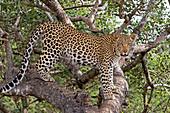 Leopard (Panthera pardus) auf Baum, Hoedspruit, Limpopo, Südafrika