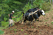 Farmer plows with cattle on steep terrain in Tang Valley, Bumthang, Bhutan, Himalayas, Asia