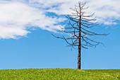 Kahler Baum auf einer grünen Sommerwiese, Radein, Südtirol, Alto Adige, Italien