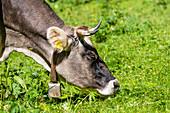 Eine Kuh mit klassischer Kuhglocke auf einer satten Almwiese, Radein, Südtirol, Alto Adige, Italien