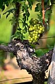 Weinanbau bei Hofarnsdorf bei Spitz an der Donau in der Wachau, Niederösterreich, Österreich
