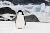 Zügelpinguin, auf der Antarktis, Polarregionen