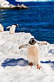 Eselspinguin, auf der Antarktis, Polarregionen