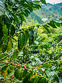 Coffee bush with berries, Hacienda Guayabal, near Manizales, Coffee Region, Colombia, South America