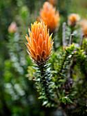 Orange-tipped Chuquiraga plant used medicinally in Ecuador, Cotopaxi National Park, Andes mountains, Ecuador, South America
