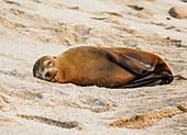 Seelöwe (Zalophus wollebaeki), Punta Carola Beach, Insel San Cristobal (Chatham), Galapagos, UNESCO-Welterbestätte, Ecuador, Südamerika