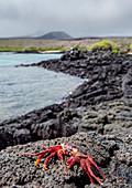Rote Klippenkrabbe (Grapsus grapsus), Insel Floreana (Charles), Galapagos, UNESCO-Welterbestätte, Ecuador, Südamerika