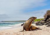 Galapagos-Seelöwe (Zalophus wollebaeki) auf einem Strand bei Punta Suarez, Insel Espanola (Hood), Galapagos, UNESCO-Welterbestätte, Ecuador, Südamerika
