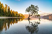 Ein einziger Baum im See Wanaka in der Früh, Bezirk Wanaka, Queenstown Lakes, Otago-Region, Südinsel, Neuseeland, Pazifik