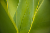 Close up of green leaves growing on plant, Agave plant, Flores, Portugal