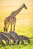 Giraffes and zebra grazing in savanna, Kenya, Africa