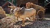 Cows pulling cart of bamboo, Yangon, Myanmar
