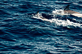 Dolphins for the coast of the Picos Island, Pico, Azores, Portugal, Atlantic Ocean, Atlantic Ocean, Europe,