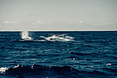 Sperm whale off the coast of the Picos Island, Pico, Azores, Portugal, Atlantic Ocean, Atlantic Ocean, Europe,