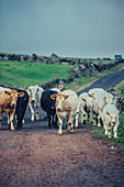 Peasant on the way with cattle, Pico, Azores, Portugal, Atlantic, Atlantic Ocean, Europe,