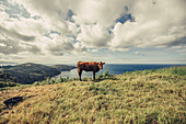 Cow at a cliff in the Azores, Sao Miguel, Azores, Portugal, Atlantic, Atlantic Ocean, Europe