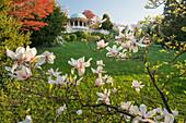 blooming magnolia tree, Beethoven Temple, Kurpark, Baden near Vienna, Lower Austria, Austria