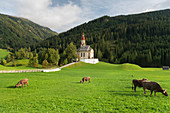 Cows in front of the Church of St. Nicholas, Obernberg am Brenner, Tyrol, Austria