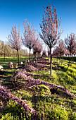 Kirschbaum Plantage in der Blütezeit, Drizzona, Provinz Cremona, Italien, Europa