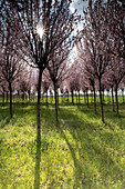 Cherry tree plantation in bloom, Drizzona, Cremona Province, Italy, Europe