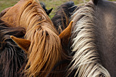 Detailed view of manes of Icelandic horses, South Iceland, Iceland, Europe