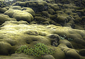 Mit Moos bewachsenes Lavafeld Eldhraun, Südisland, Island, Europa