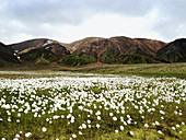 View of a meadow with cotton grass in the Landmannalaugar, South Iceland, Iceland, Europe