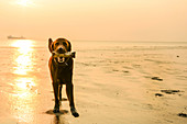 Dog plays on the sandy beach from the north. Germany, East Frisia, Europe