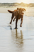 Dog plays on Juist's dog beach. Germany, East Frisia, North Sea